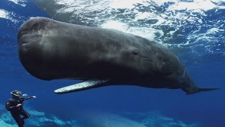 Stunning Footage of Sperm Whales Attempting to Communicate With Freedivers Using Clicking Noises