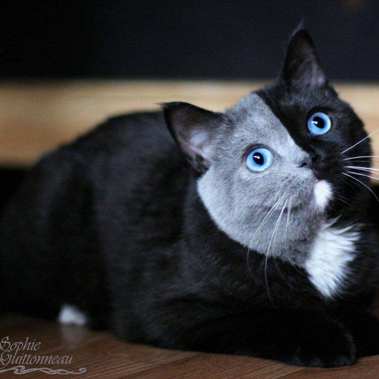 A Beautiful Cat Whose Face Is Perfectly Divided by Black Fur on One Side and Gray Fur On the Other