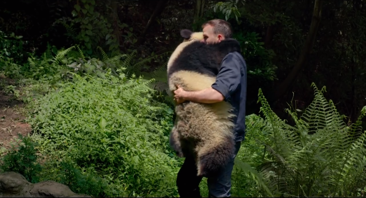 An Affectionate Panda Hugs Her Favorite Human Before Climbing a Tree in the 'PANDAS' IMAX Trailer