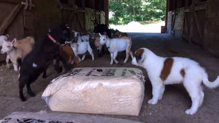 Puppy Meeting Goats