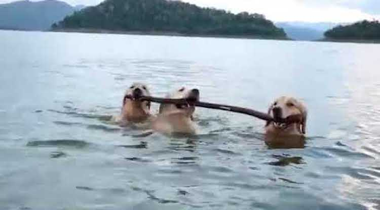 Three Dogs Walk Alongside Each Other in Shallow Water Carrying the Same Stick in Their Mouths