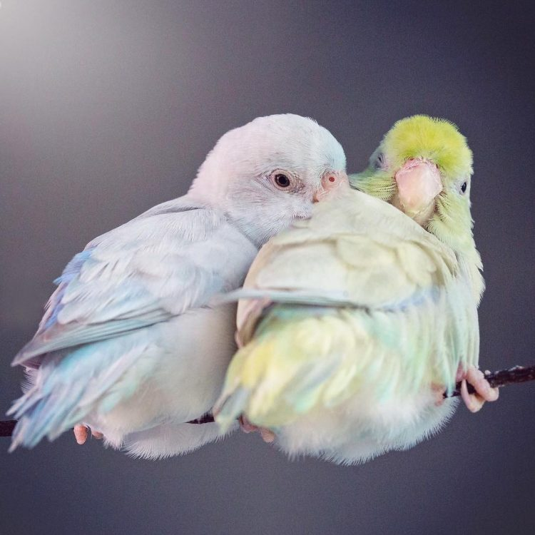 Gorgeous Photos of a Pair of Color-Splashed Pastel Parrotlets Who Have Fallen Madly in Love