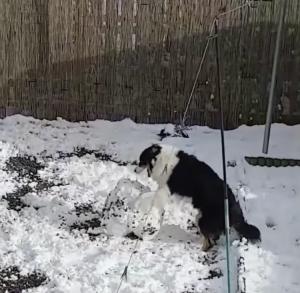Border Collie Giant Snowball