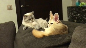 Fennec Fox and Cat