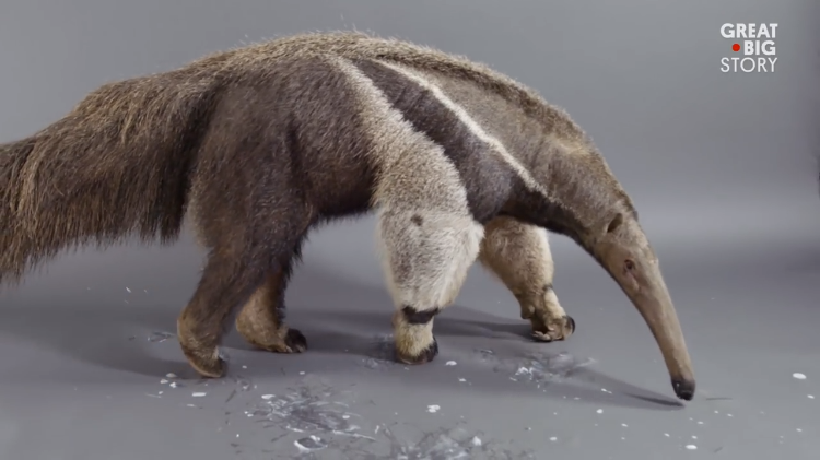 A Hungry Giant Anteater Happily Cleans Yogurt Off the Floor With His Great Big Tongue