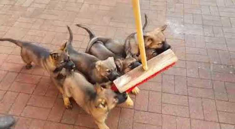 Tiny German Shepherd Puppies Adorably Attack a Broom That Kept Innocently Crossing Their Path