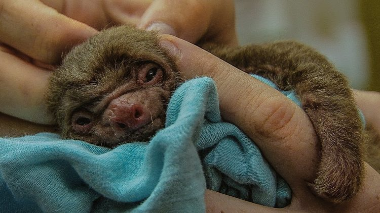 A Teeny Tiny Days Old Two Toed Sloth Shows Strong Signs of Life After Being Found Alone on a Beach