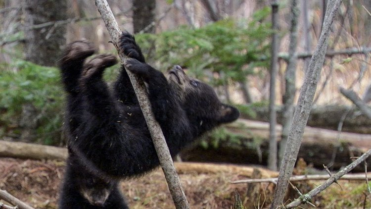 brave little baby bears try to find the best tree to climb while