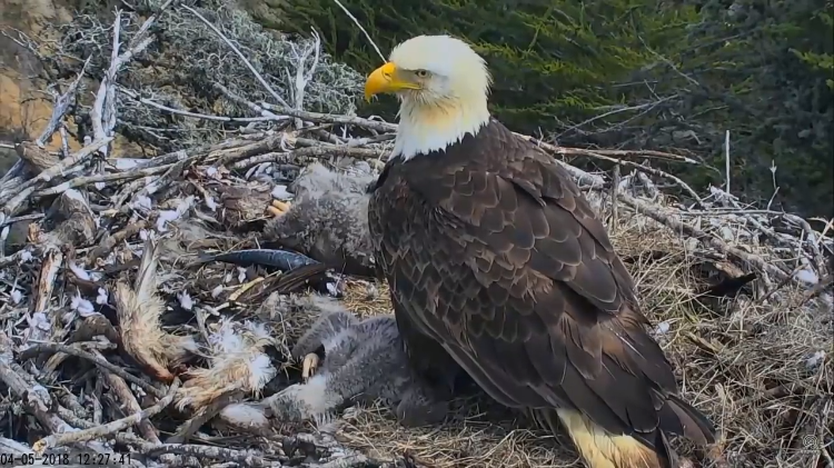 Bald Eagle Dad Returns Quickly to His Kids After Flying Away From the Nest During a 5.3 Earthquake