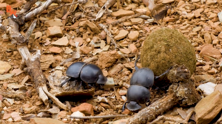 A Pair of Competitive Male Dung Beetles Battle Over a Perfectly Rolled Giant Ball of Poop