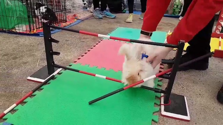 Stubborn Bunny Cleverly Dismantles Each Hurdle That Crosses Her Path During an Agility Contest
