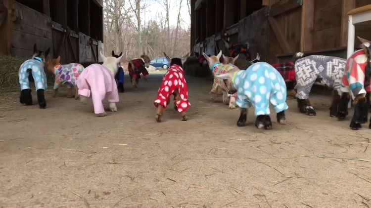 48 Baby Goats Adorably Bounce Back and Forth Across a Barn While Wearing Colorful Pajamas