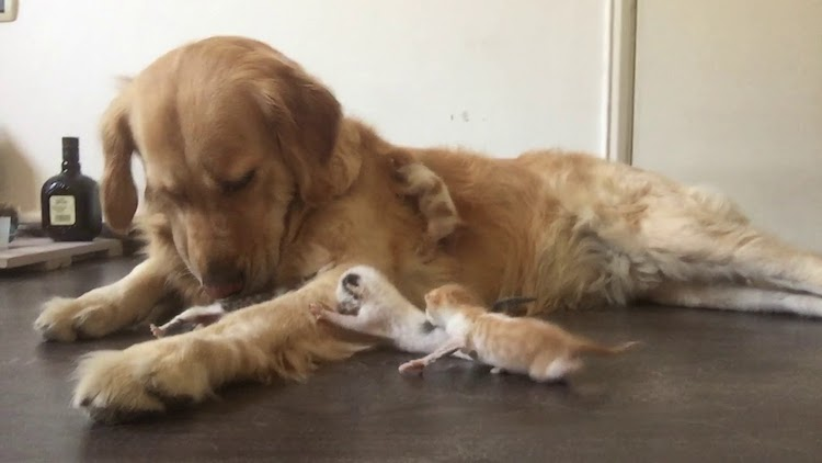 A Patient Golden Retriever Dog Lovingly Cares for a Caterwauling Litter of Orphaned Newborn Kittens