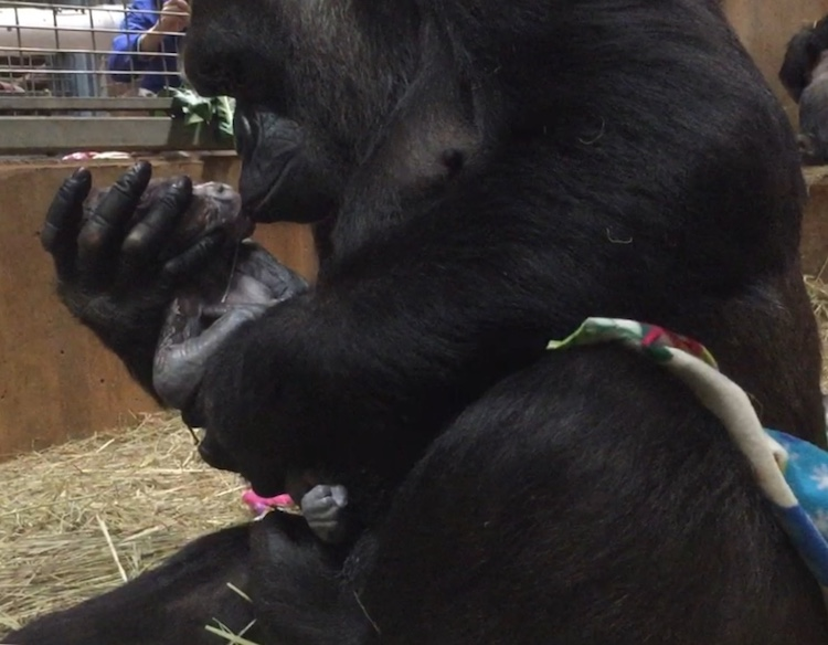 A Loving Western Lowland Gorilla Mother Gives Her Newborn Baby Boy a Kiss After His Historic Birth