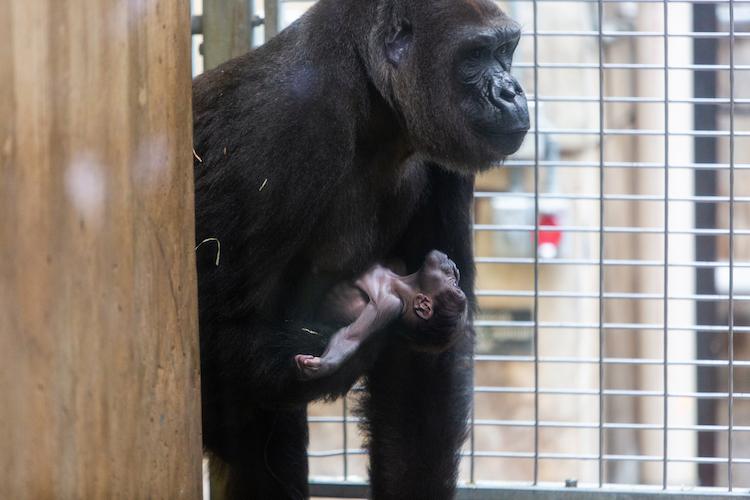 Gorillas Calaya and Moke