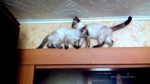Pair of Siamese Cats Pass Each Other On Doorframe