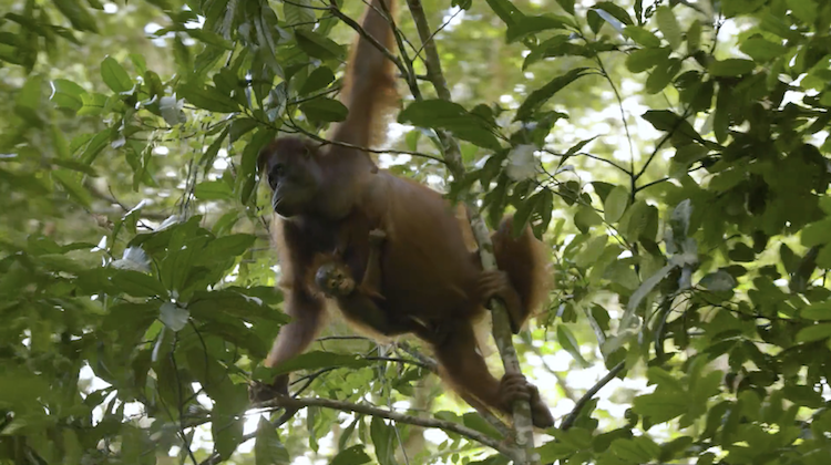 Person of the Forest, Researchers Go to Borneo to Learn About the Human-Primate Connection