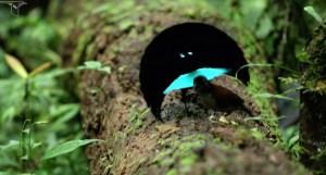 Vogelkof Superb Bird-of-Paradise Mating Dance