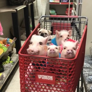 4 Pigs and a Pug