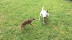 Bull Terrier and Fawn