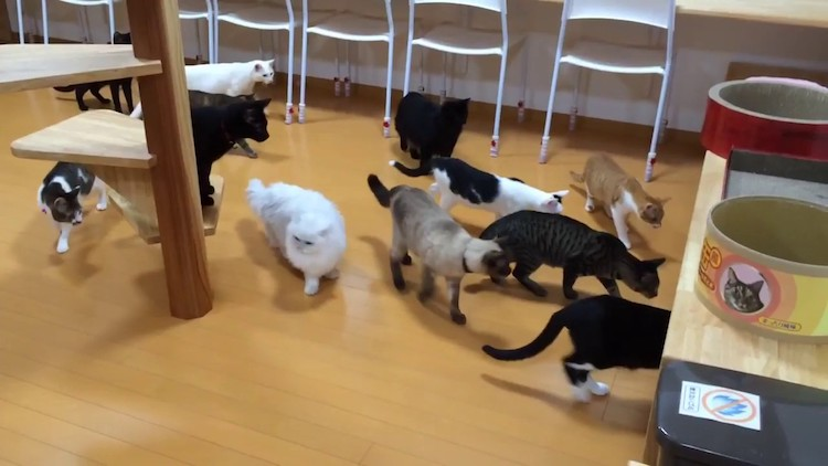 A Clowder of Curious Cats Have the Same Startled Reaction to a Robot Vacuum All at The Same Time