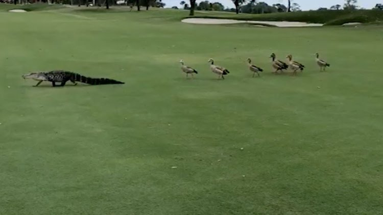 A Flock of Angry Geese Chase a Slow Moving Alligator Across Golf Course at a PGA Invitational