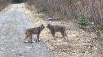 Lynx Butt Heads