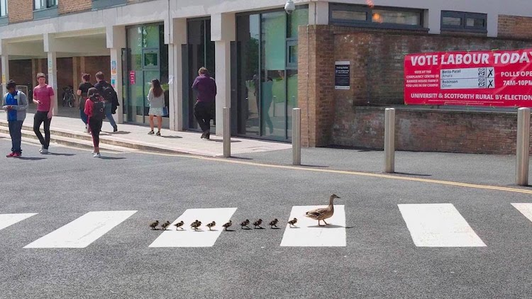 Mother Duck and Her Eleven Tiny Ducklings Sensibly Use the Crosswalk to Safely Cross the Street