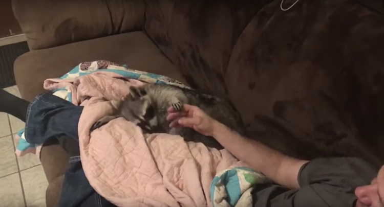 A Rescued Raccoon Repeatedly Drags His Human's Hand Back to Where He Stopped Petting Him