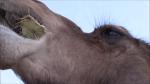 Prickly Pear Cactus Camel