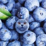 Cats in Food Blueberry