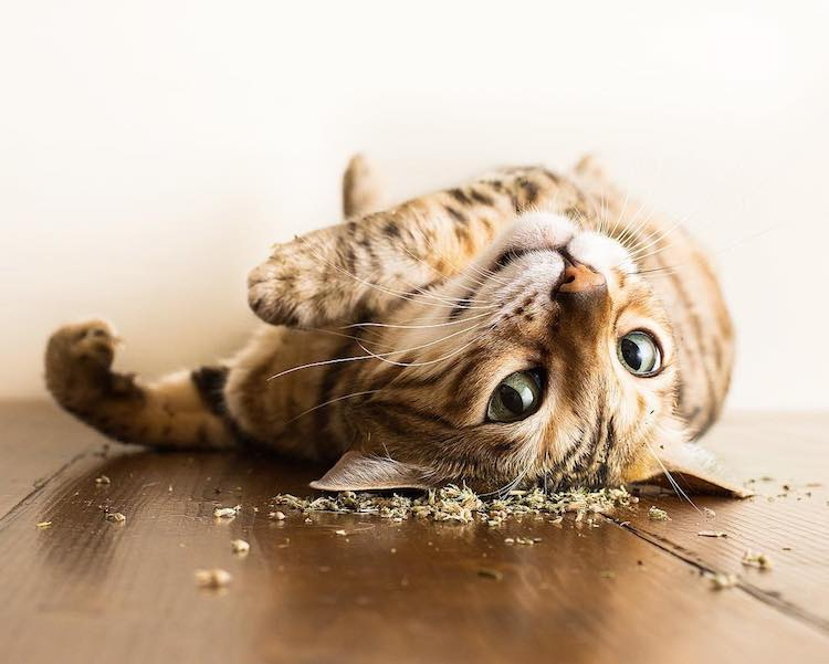 An Amusing Photo Series Featuring the Blissful Expressions of Cats Under the Influence of Catnip