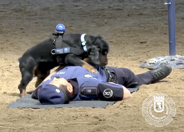 A Clever Police Dog Demonstrates How to Properly Perform CPR on a Fellow Human Officer in Madrid