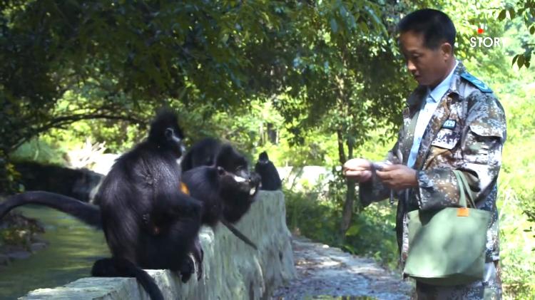 Forest Ranger Francois Leaf Monkeys
