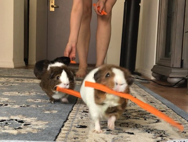 An Adorable Family of Guinea Pigs March Away in an Orderly Line After Receiving a Carrot Stick Snack