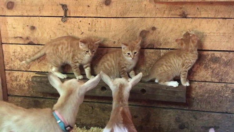 Kittens and Goats
