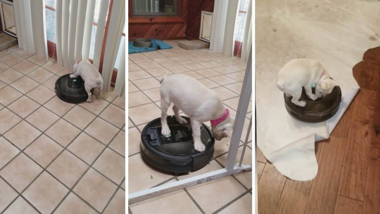 French Bulldog Puppy Goes For a Ride on a Roomba