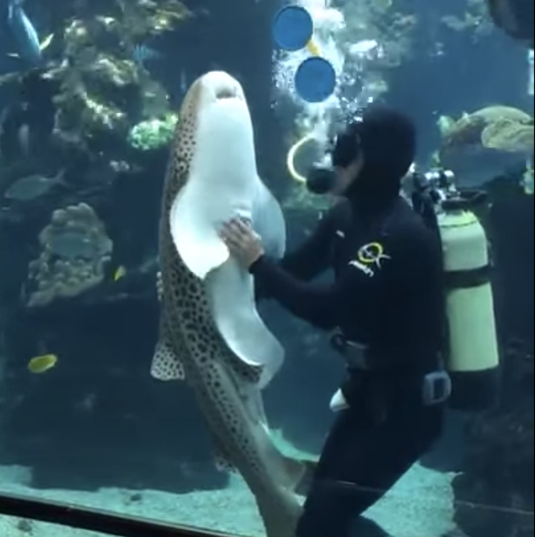 Zebra Shark Belly Rub