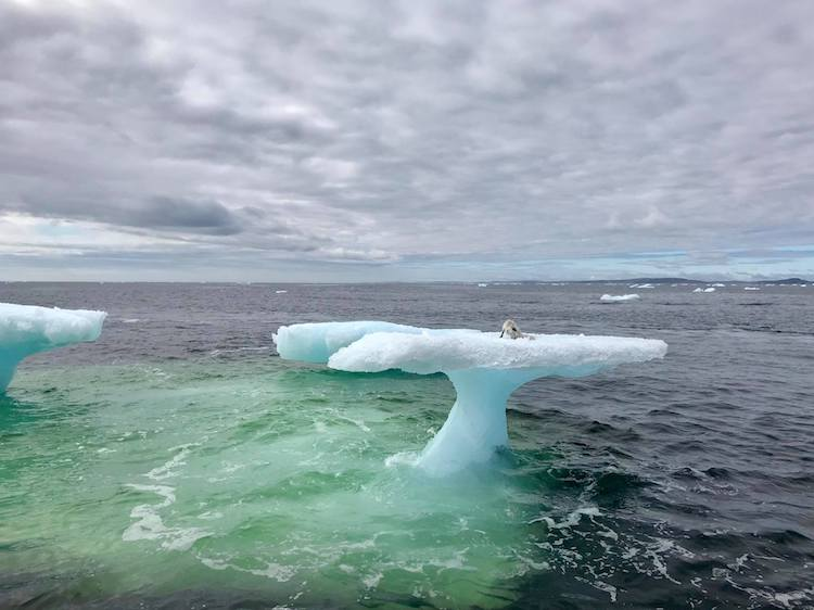 Newfoundland Fisherman Rescues a Helplessly Stranded Arctic Fox From an Isolated Iceberg