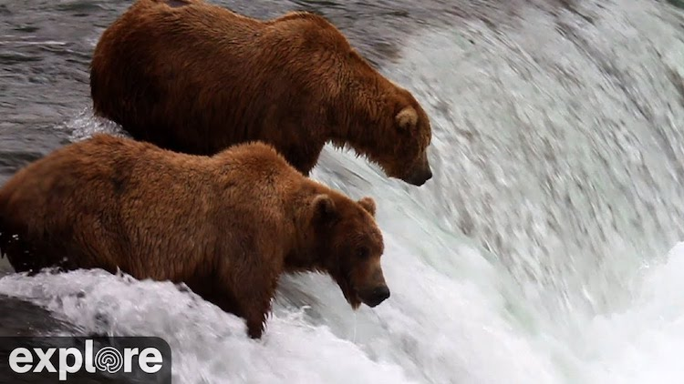 An Amazing Live Stream of Brown Bears Hunting for Salmon in Alaska's Katmai National Park