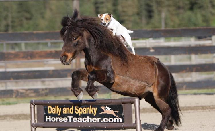 Spunky Dog Gracefully Jumps on Back of Miniature Horse to Go For a Ride and Do Trick Jumps