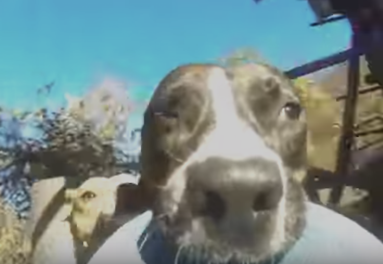A Mischievous Dog Runs Off With an Attached GoPro Camera While Being Pursued by Other Dogs