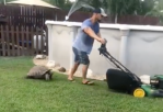 Fast Tortoise Chases Lawn Mower