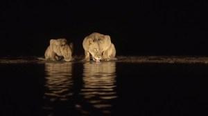 Lions Drinking Water at Night Peter Haygarth
