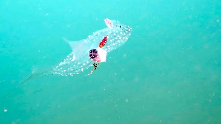 Stunning Footage of a Mysterious Translucent Sea Creature Gliding Through the Waters of Northern Bali