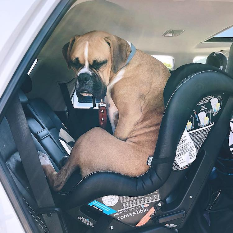 Stubborn Dog Hilariously Refuses to Vacate a Rear Facing Infant Car Seat He Erroneously Thinks Is His