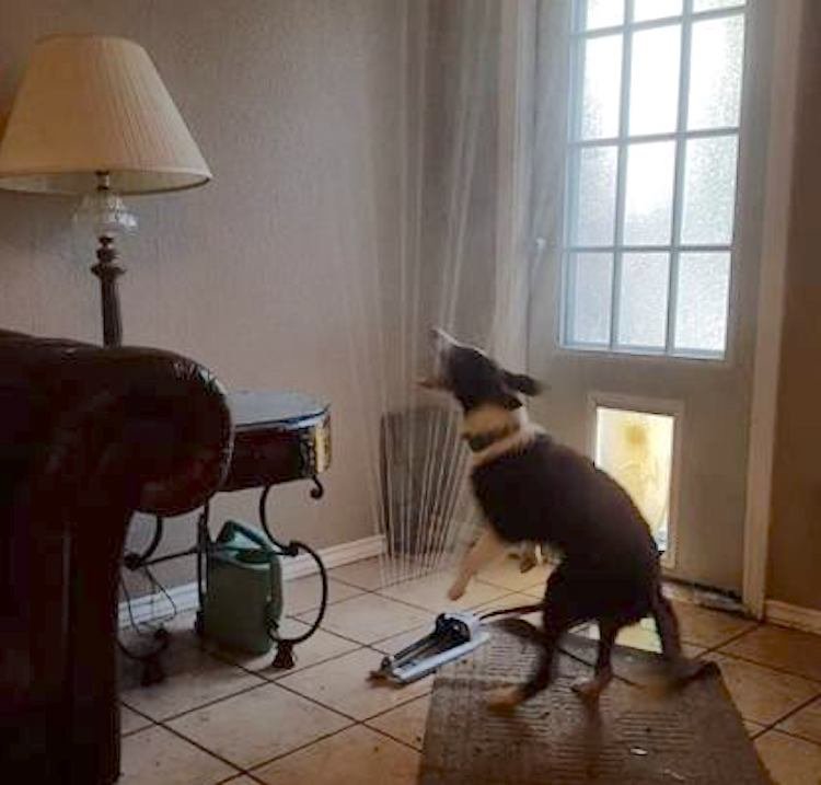 Puppy Drags Sprinkler Inside through Doggy Door