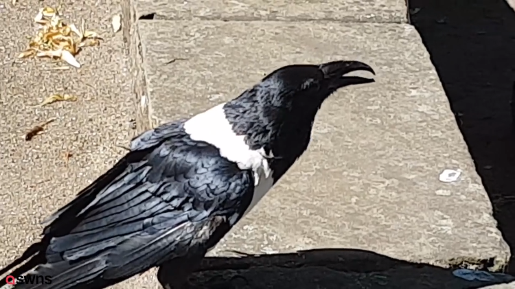 Talking Crow Asks People Passing By on Street 'Y'alright Love?' in a Strong Yorkshire Accent