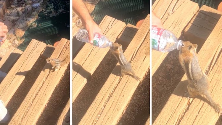 A Thirsty Chipmunk Drinks Like a Human From a Generously Offered Bottle of Water
