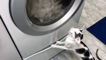 Cat Honks at Dryer